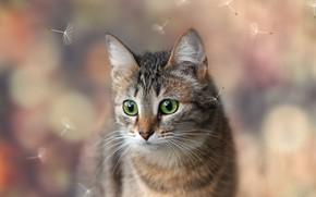 Картинка кошка, взгляд, фон, пух, киса