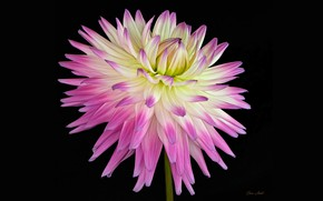 Картинка цветок, фон, розовый, Георгина