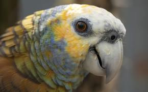 Картинка природа, птица, St Vincent Amazon Parrot