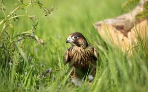 Картинка трава, взгляд, природа, птица, растения, хищник, сокол, зеленый фон, хищная