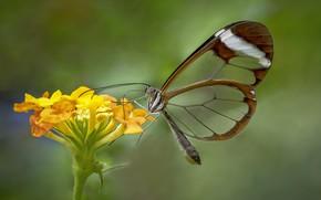 Картинка цветок, бабочка, стеклокрылка, Greta oto