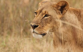 Картинка трава, природа, хищник, львица, большая кошка