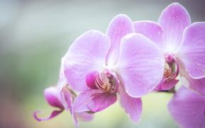 Картинка макро, фон, экзотика, орхидея, Фаленопсис
