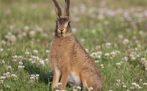 Картинка трава, взгляд, заяц, уши