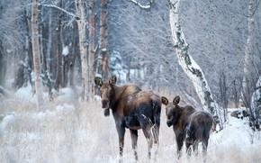 Картинка зима, иней, лес, взгляд, морда, снег, ветки, поза, стволы, пара, березы, парочка, роща, два, лось, ...