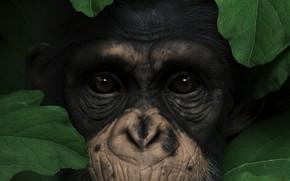 Картинка глаза, взгляд, листья, животное, нос, обезьяна