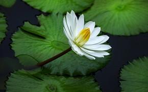 Картинка белый, цветок, листья, кувшинка, водоем, зеленый фон, нимфея, водяная лилия