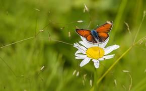 Картинка цветок, лето, макро, бабочка, поляна, ромашка