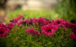 Картинка цветы, размытие, розовые, клумба, боке, петуния, петунии