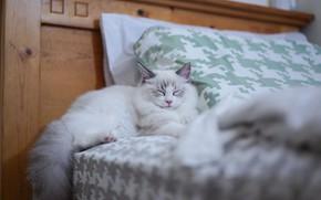 Картинка кошка, комната, кровать, сон, спит, постель, киса, рэгдолл