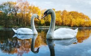 Картинка осень, лес, вода, деревья, пейзаж, птицы, природа, озеро, пруд, отражение, берег, пара, лебеди, водоем, плавание, …