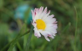 Картинка ромашка, бутон, цветение, травинка