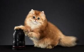 Картинка кошка, взгляд, поза, котенок, фон, мордочка, фотокамера, фотостудия, шиншилла