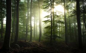 Картинка лес, лето, солнце, лучи, свет, деревья, ветки, туман, стволы, листва, утро