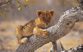 Картинка взгляд, ветки, дерево, лежит, мордашка, львенок, львёнок