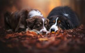 Картинка осень, лес, собаки, взгляд, листья, парк, фон, настроение, листва, две, пара, парочка, дуэт, друзья, лежат, …