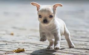 Картинка малыш, щенок, Чихуахуа