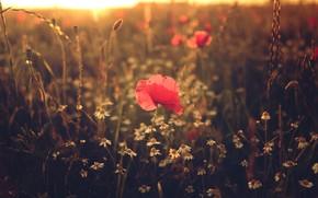 Картинка поле, лето, солнце, свет, цветы, природа, поляна, мак, маки, ромашки, размытие, вечер, колоски, луг, красные, …