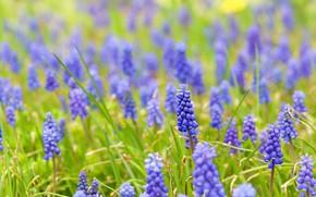 Картинка зелень, цветы, поляна, весна, синие, много, сиреневые, боке, мускари