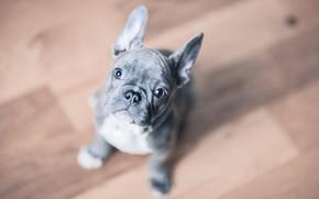 Картинка взгляд, фон, собака, щенок, мордашка, пёсик, Французский бульдог