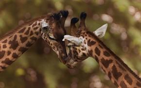 Картинка поза, фон, вместе, жираф, пара, жирафы, ласка, дуэт, два, морды, боке, опустив голову, два жирафа