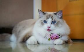 Картинка язык, кошка, взгляд, цветы, отражение, портрет, красавица, голубые глаза, Рэгдолл