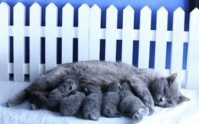 Картинка кошка, дети, забор, котята, мать, британские, выводок, младенцы, кормящая