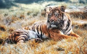 Обои трава, взгляд, морда, свет, природа, тигр, поза, фон, лапы, лежит, дикая кошка, красавец