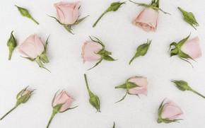 Картинка белый, фон, розы, бутоны
