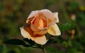 Картинка цветок, листья, фон, роза, оранжевая, бутон, желтая, боке
