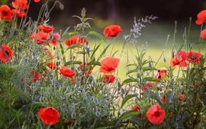 Картинка лето, трава, цветы, поляна, маки, растения, луг, красные, крапива