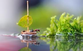 Картинка вода, макро, природа, лист, отражение, парусник, муравей, парус, насекомое, кораблик