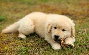 Картинка лето, трава, собака, малыш, милый, щенок, лежит, палочка, лабрадор, золотистый, пушистик, лужайка, грызет, ретривер