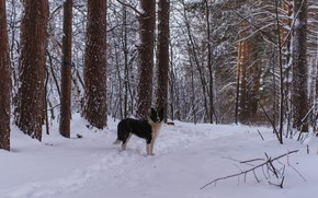 Картинка зима, лес, снег, собака, прогулка