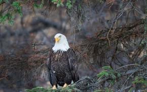 Картинка ветки, природа, белоголовый орлан