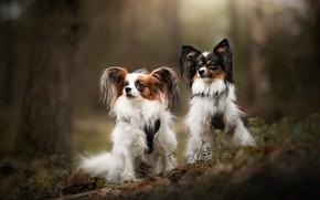 Картинка собака, парк, дерево, две, лес, мордашки, собаки, природа, позы, сидят, пара, две собаки, взгляд, собачки, …