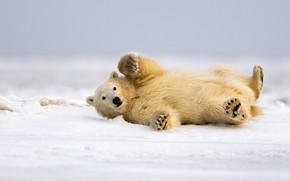 Картинка зима, снег, поза, сугробы, белый медведь, развалился