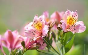 Картинка цветы, фон, розовые, альстромерия