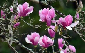 Картинка цветы, ветки, весна, лепестки, розовые, бутоны, цветение, зеленый фон, магнолия, весеннее, в цвету