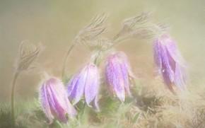 Картинка цветы, весна, прострел