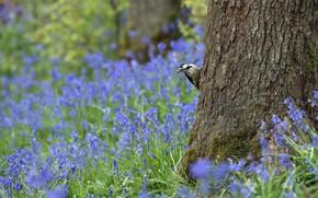 Картинка лес, цветы, природа, дерево, птица, поляна, дятел, голубые, колокольчики, выглядывает, венса
