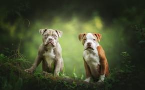 Картинка собаки, взгляд, листья, природа, поза, щенки, пара, бревно, парочка, дуэт, два, зеленый фон, мордашки, американский …
