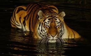 Картинка взгляд, морда, вода, свет, тигр, темный фон, купание, водоем