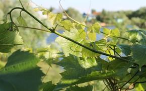 Картинка зелень, лето, листья, природа, ветви винограда
