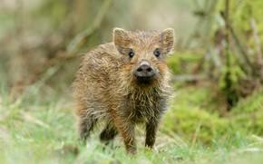 Картинка лес, взгляд, морда, фон, малыш, свинья, кабан, детеныш, дикая природа, свинка, кабанчик, пятачок, поросенок, свинтус, …