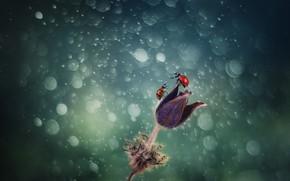 Картинка цветок, божья коровка, flower, боке, bokeh, ladybug
