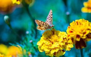 Картинка макро, цветы, природа, бабочка, желтые, насекомое, голубой фон, боке, бархатцы