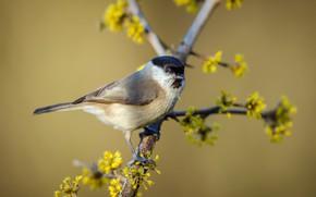 Картинка птица, весна, Черноголовая гаичка