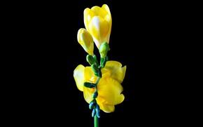 Картинка макро, чёрный фон, жёлтый цветок, Фрезия
