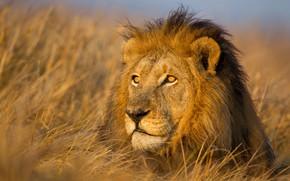 Картинка портрет, грива, морда, лев, царь зверей, трава, дикая кошка